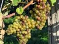 vineyard-provence.jpg